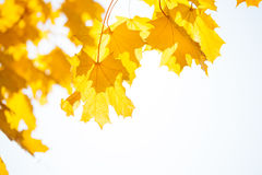 Autumn maple yellow leaves over sun and sky. Close-up details composition Royalty Free Stock Image