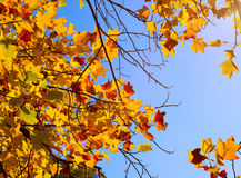 Autumn maple with yellow leaves in park Royalty Free Stock Photography