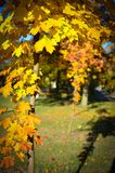Autumn maple with yellow leaves in the sun. Sunshine on yellow leaves stock photos