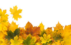 Autumn maple yellow leaves  on white background Royalty Free Stock Images