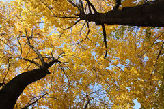 Autumn maples Royalty Free Stock Images