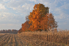 Autumn Maples in Corn Field Royalty Free Stock Image