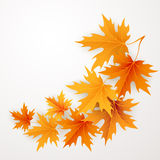 Autumn maples falling leaves background. Stock Image