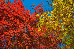 Autumn maples 15 Royalty Free Stock Photography
