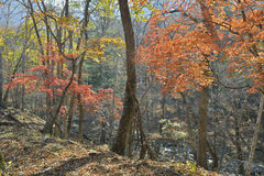 Autumn maples 6 Royalty Free Stock Photography