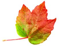 Autumn mapple leaf Stock Images
