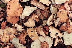 Autumn Mapple Leaves Fotografia de Stock