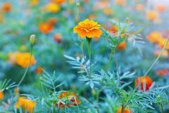 Autumn marigold flower Royalty Free Stock Photography