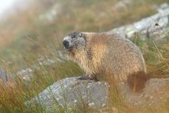 Autumn marmot Stock Photos