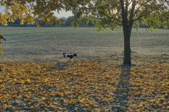 Autumn walk with a small dog among colorful fallen leaves royalty free stock photos