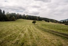 Autumn meadow with feeding sheep, isolated tree, trail, forest on the background and blue sky with clouds royalty free stock photography