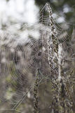 Morning dew on a spider web Stock Photography