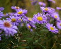 Meadow of purple flowers daisies chrysanthemums Stock Photo