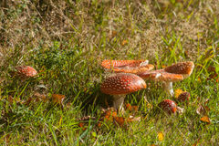 Autumn meadow with toadstool mushrooms Stock Photo