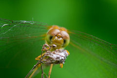 Autumn Meadowhawk Royalty Free Stock Photography