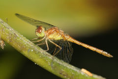 Autumn Meadowhawk Dragonfly Royalty Free Stock Photo