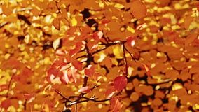 Autumn melancholy golden trees falling leaves. Autumn melancholy. Golden trees. Falling leaves Sunny day stock footage