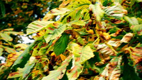 Autumn. Middle and close-up. Yellow and green leaves on a tree. Yellowed leaves speak of the coming of autumn. Green leaves as yet do not want to let go of stock video footage