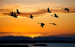 Autumn migration of cranes Royalty Free Stock Photos