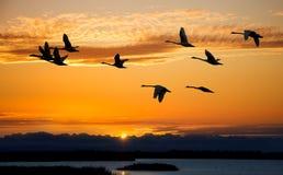 Autumn migration of cranes Royalty Free Stock Photos