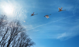 Autumn migration of cranes Royalty Free Stock Images