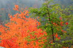 Autumn Mist. Red and Green Trees in the Autumn Mist royalty free stock photo