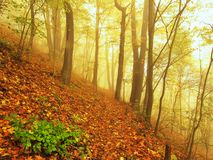 Autumn mist in leave forest. Bended beech and maples trees with less leaves under fog. Rainy day. Stock Photo