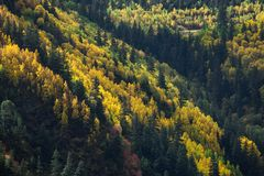 Autumn mixed forest. yellow color trees. Autumn mixed forest. yellow color trees Stock Photography