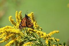 Autumn Monarch royalty-vrije stock foto