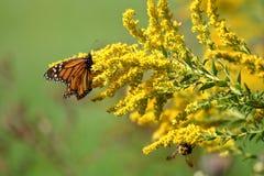 Autumn Monarch royalty-vrije stock afbeeldingen