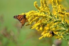 Autumn Monarch imagem de stock royalty free