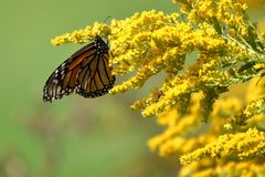 Autumn Monarch fotografia de stock royalty free