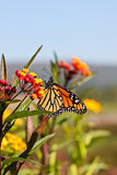 Autumn Monarch Butterfly Vivid Yellow Orange. Female migrating Monarch butterfly feeding on lantana flowers in garden with blue sky background in Catoctin royalty free stock photography
