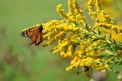 Autumn Monarch. A travel worn Monarch Butterfly feeds on full bloomed Goldenrod on a warm autumn morning royalty free stock images