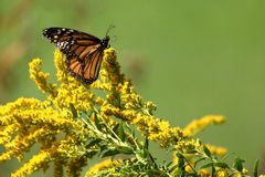 Autumn Monarch. A travel worn Monarch Butterfly feeds on full bloomed Goldenrod on a warm autumn morning royalty free stock photography