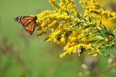 Autumn Monarch. A travel worn Monarch Butterfly feeds on full bloomed Goldenrod on a warm autumn morning royalty free stock image
