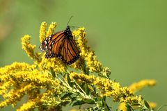 Autumn Monarch. A travel worn Monarch Butterfly feeds on full bloomed Goldenrod on a warm autumn morning stock image