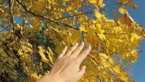 Autumn mood concept female hand touching yellow colors maple leaves on the trees pov stock video footage