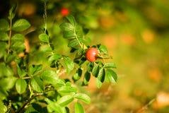 Autumn mood. Dog rose fruits Royalty Free Stock Images
