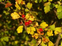 Hawthorn with yellow leaves. Autumn mood. Hawthorn with yellow leaves royalty free stock photography