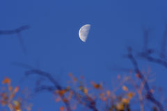 Autumn Moon. Moon and autumn branches Royalty Free Stock Photo