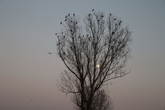 Autumn Moon Crow Tree Royaltyfri Foto