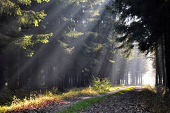 Autumn morning. Light beams in the forest on an early autumn morning Stock Photography