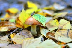 Autumn morning background with an eatable wild mushroom. Autumn morning background with an eatable wild mushroom and yellow leafs royalty free stock photos