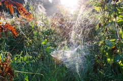 Autumn morning dewy spiderweb on plants sunlight Stock Photo