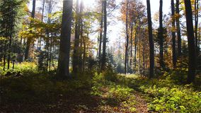 Autumn Morning in European forest. With Rays of Sun that can Penetrate through the Trees. Panoramic Shot with Camera Movement to the Right stock video footage