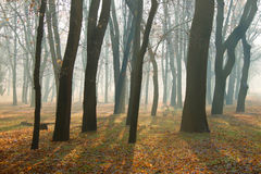 Autumn morning in foggy park Stock Image