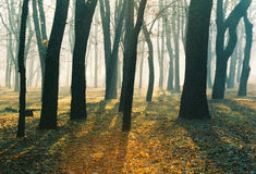 Autumn morning in foggy park Royalty Free Stock Photography