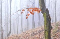 Autumn Morning Forest con sole, Slovacchia Immagini Stock