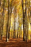 Autumn morning forest Royalty Free Stock Photo